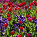 Quand et comment planter un bulbe fleur ?